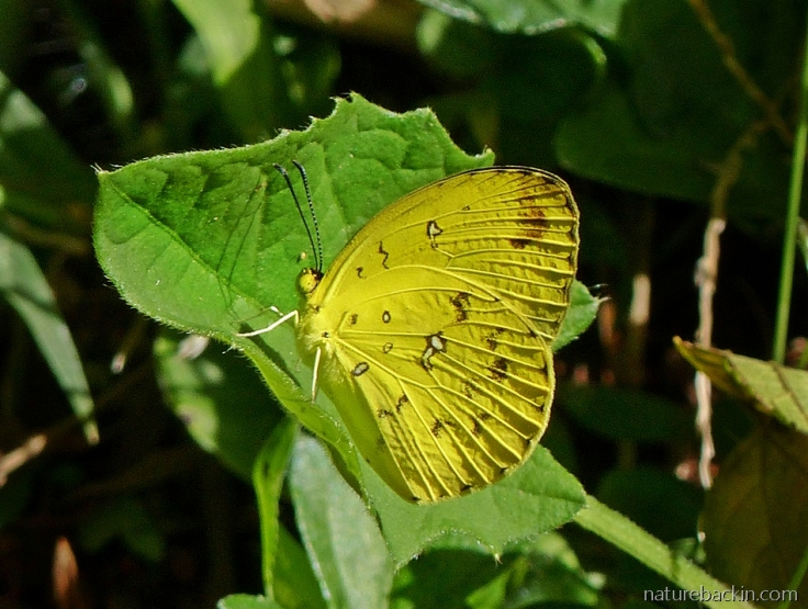 One of the Grass yellow butterflies in a garden in KwaZulu-Natal, South Africa