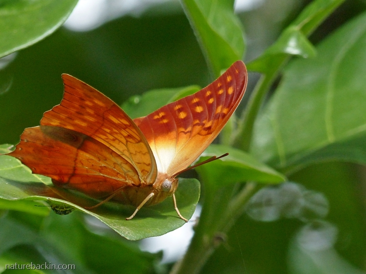 A pearl charaxes butterfly, South Africa