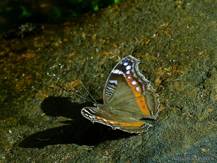 A garden commodore butterfly in the dry-season form, South Africa