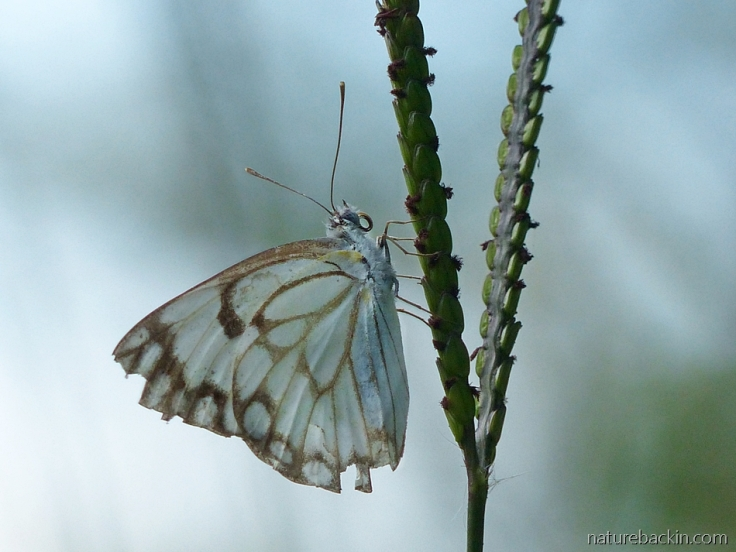 Perched on the seed head of a grass stem, a brown-veined white butterfly, South Africa