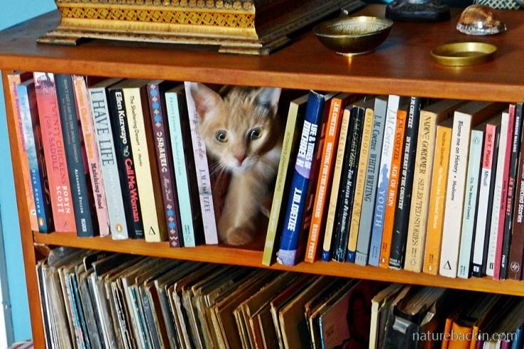 Nougat the cat haunting the bookshelves.