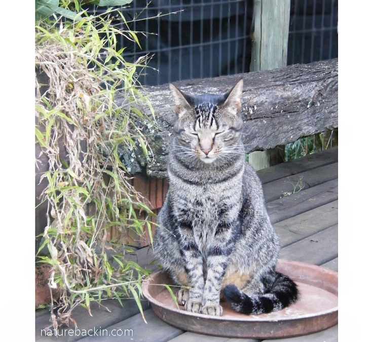 Cat meditating.