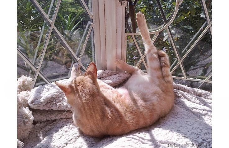 Nougat the cat sunbathing.