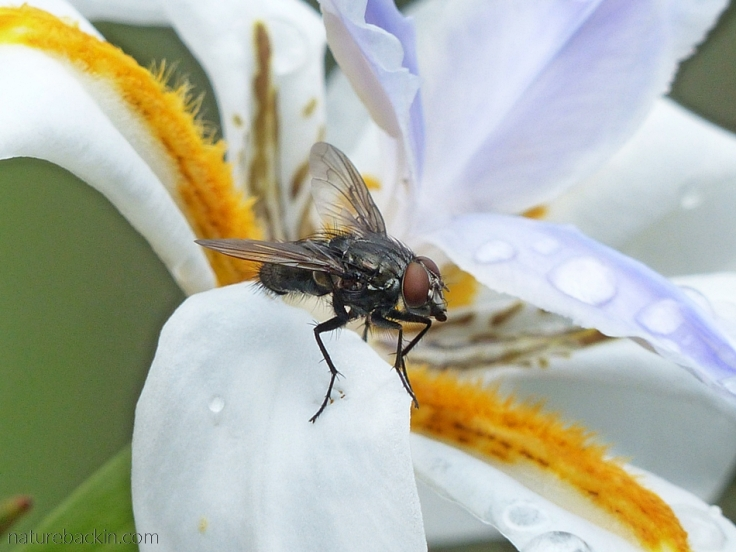 Tachinid fly on a flower of a wild iris (Dietes grandiflora)