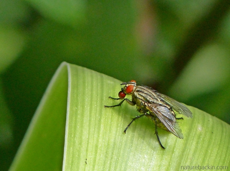A flesh fly blowing an opaque red fluid bubble.
