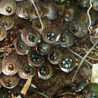 Backyard curiosities 2: Bird's Nest Fungi