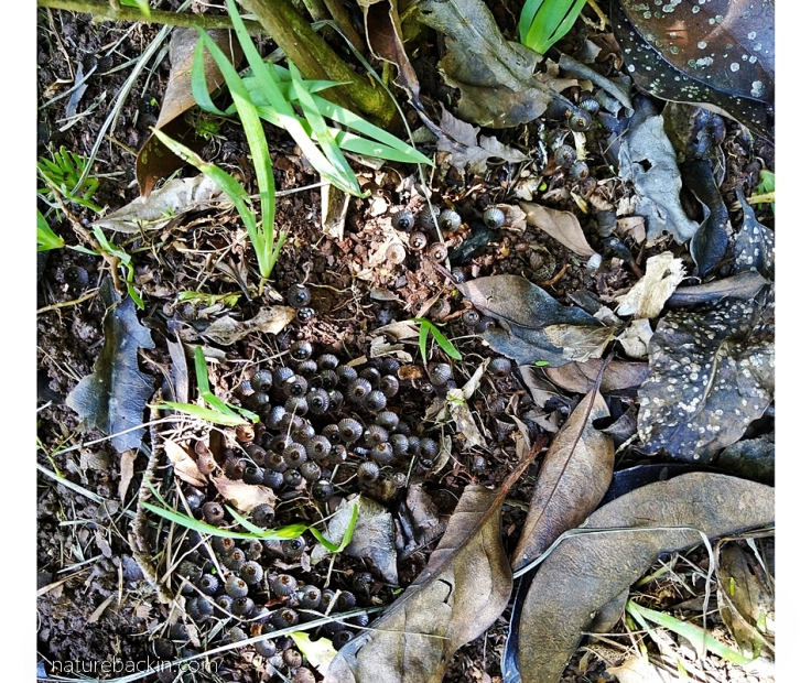 Patch of birds' nest fungi, Cyathus striatus