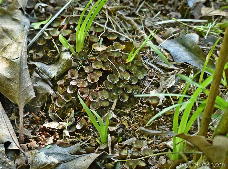 Fluted birds' nest fungi growing on soil rich with decaying wood
