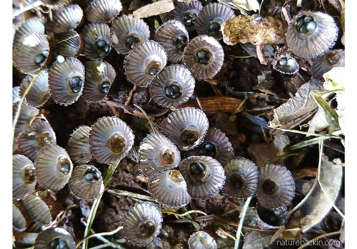 Fluted birds' nest fungus showing the cups bearing spore-bearing capsules
