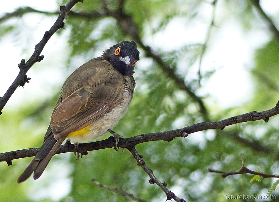 African red-eyed bulbul at the Central Kalahari Game Reserve, Botswana