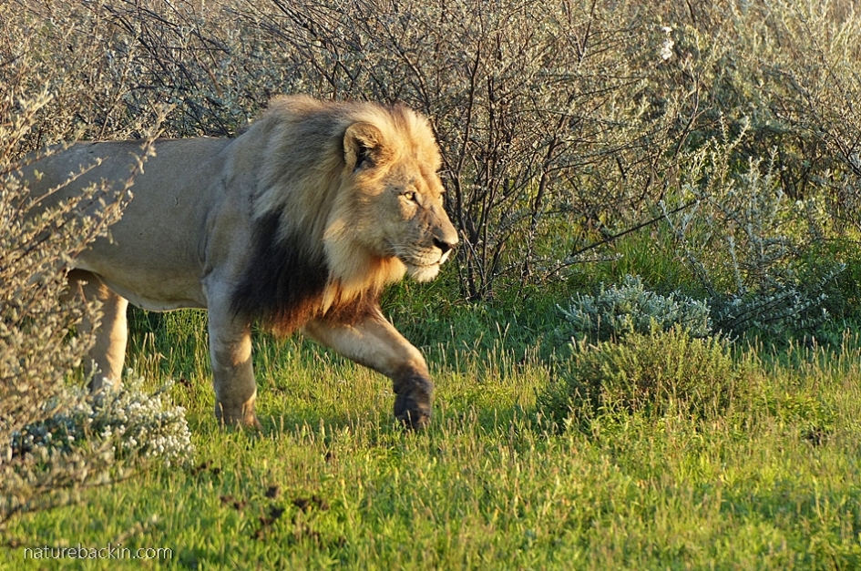 Male lion in morning sunlight near the Phokoje campsite at the Central Kalahari Game Reserve, Botswana