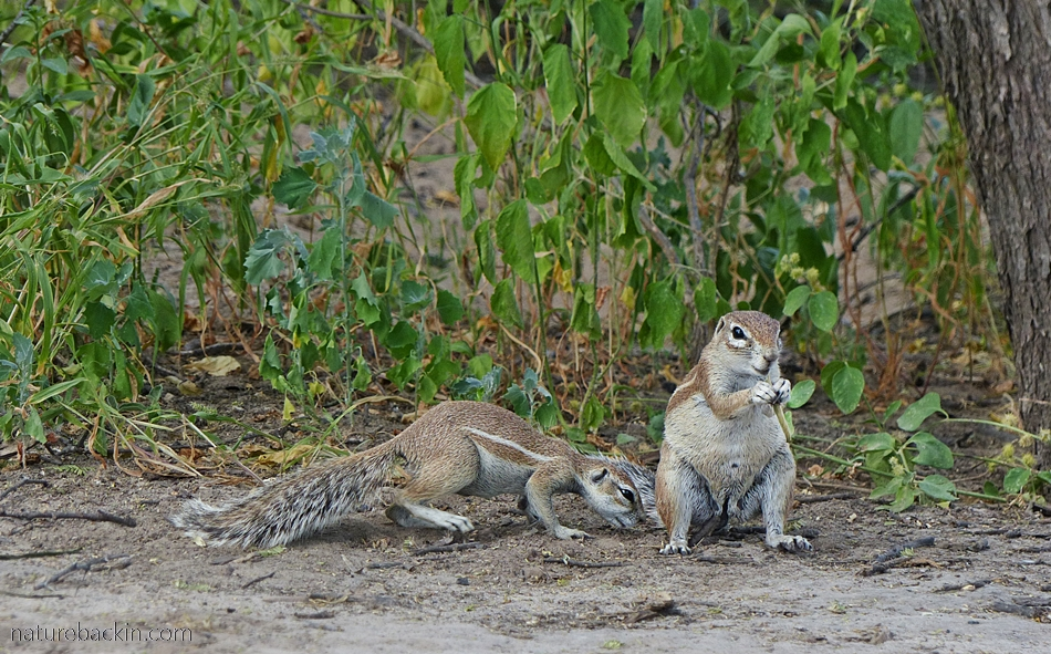 Ground squirrels at the Central Kalahari Game Reserve, Botswana