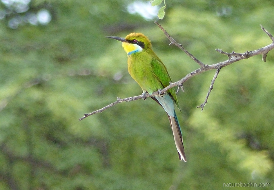 Swallow-tailed bee-eater at the Central Kalahari Game Reserve, Botswana