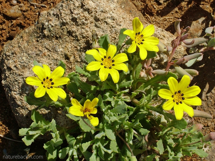 Richtersveld National Park flowers