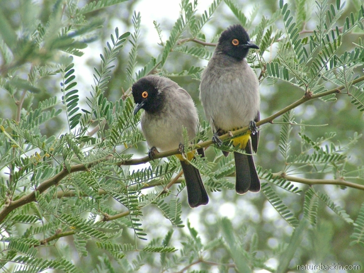 African red-eyed bulbuls, Richtersveld National Park