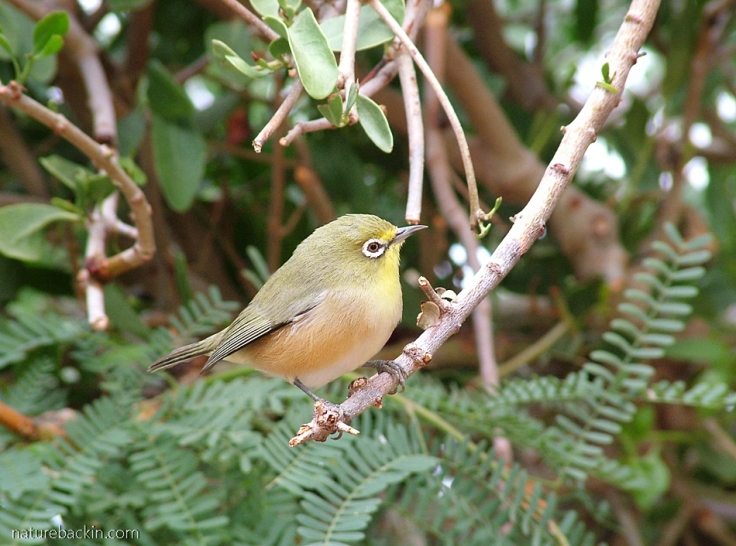 Orange River white-eye, RIchtersveld National Park