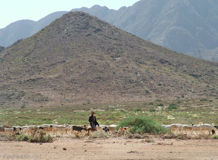 Nama herder with flock and dogs, Richtersveld National Park, South Africa