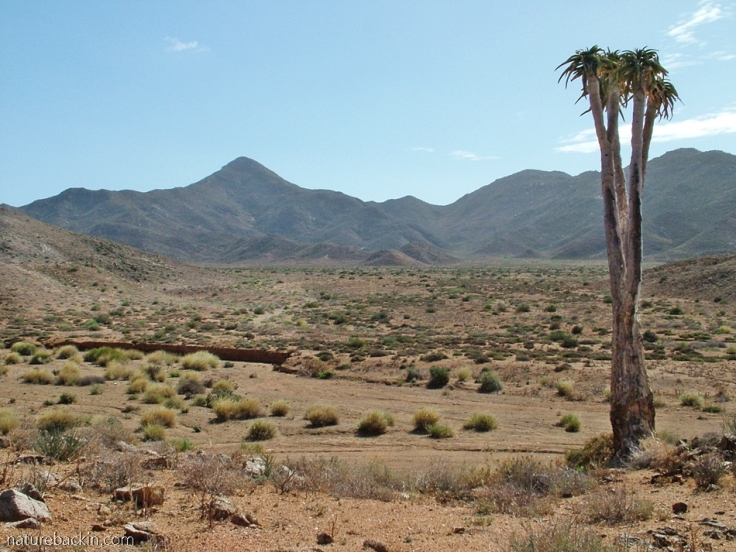 Tree aloe or giant quiver tree, Aloidendron pillansii, Richtersveld National park