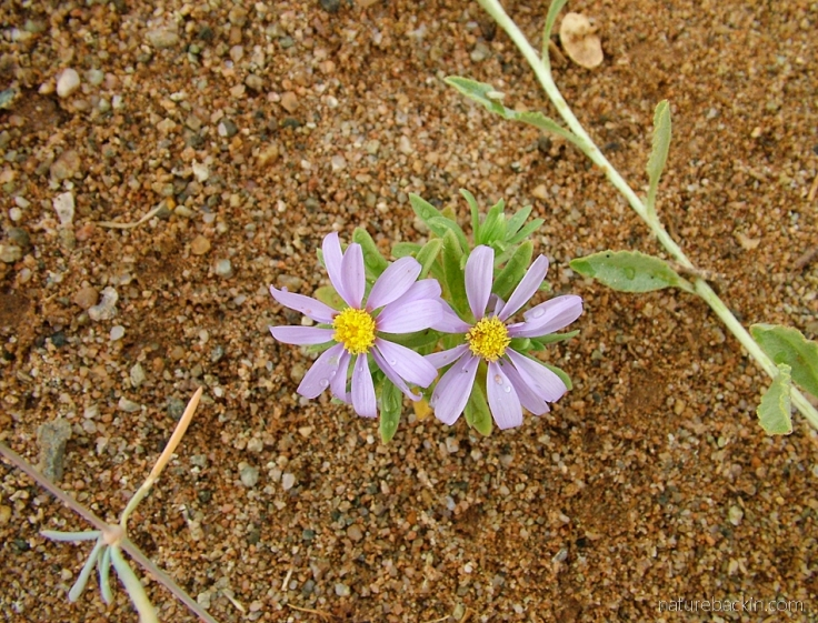 Flowers at Richtersveld National Park