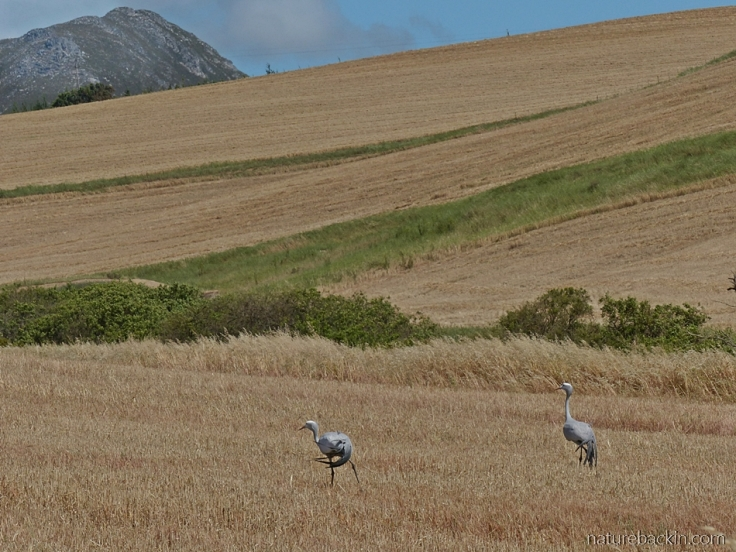 Blue cranes on the stubble of a harvested wheat field, Western Cape