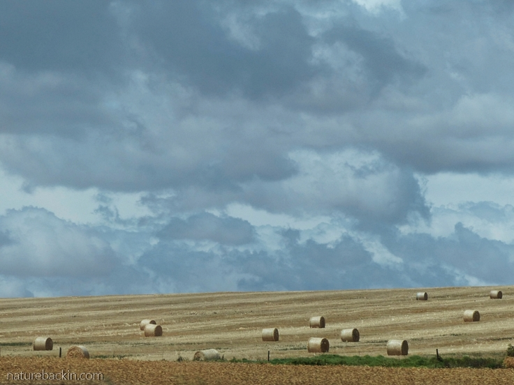 Wheat straw bales in a field, Western Cape, South Africa