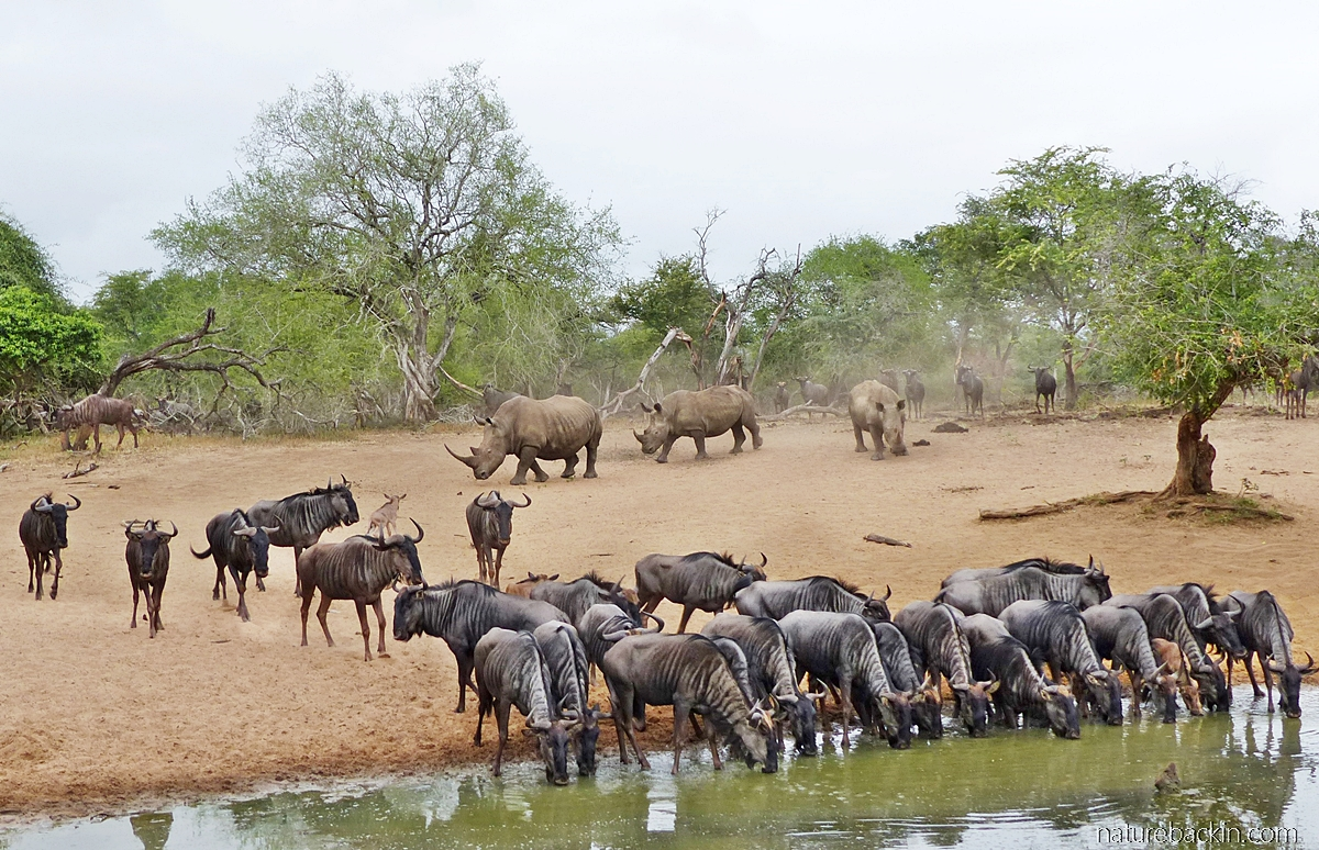 Wildebeest and white rhino coming to drink at KuMasinga Hide watering hole, Mkhuze Game Reserve, South Africa