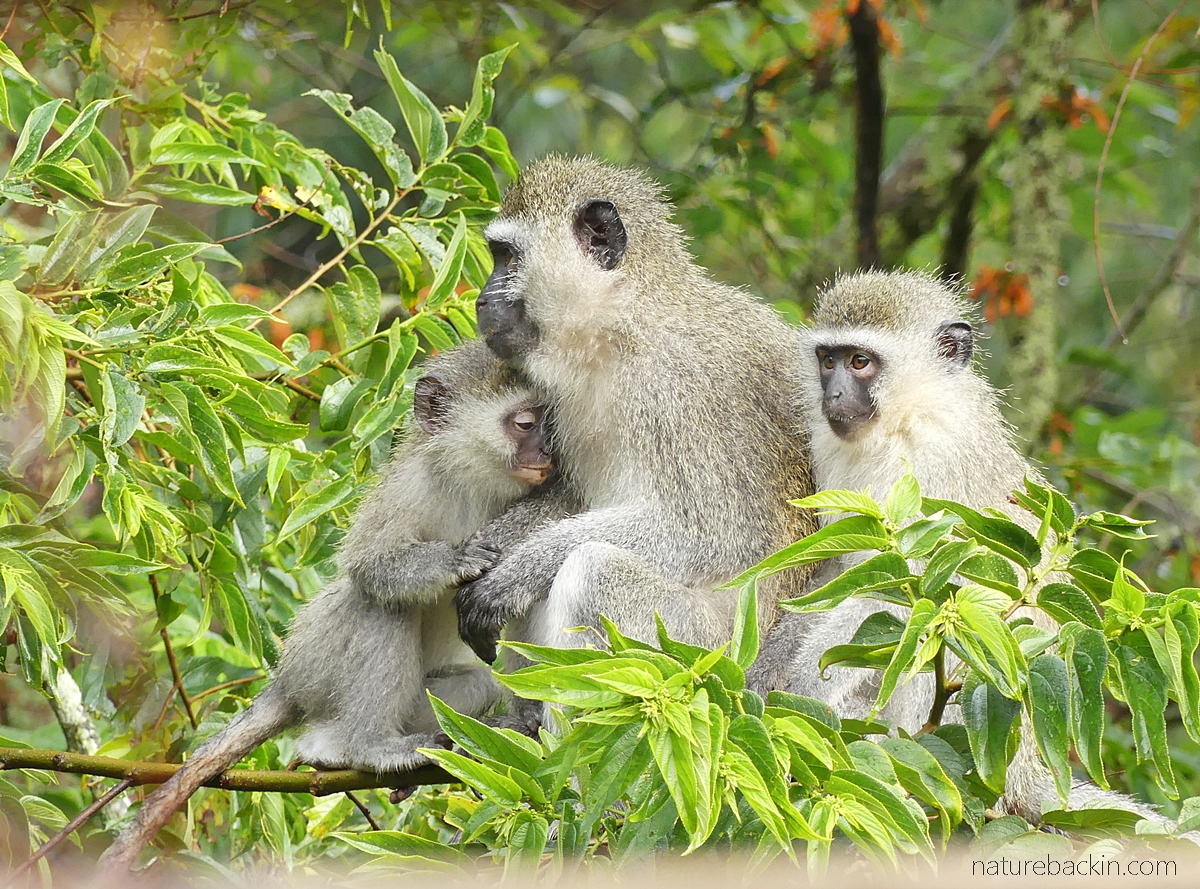 Vervet monkeys keeping close on a cold morning, KwaZulu-Natal