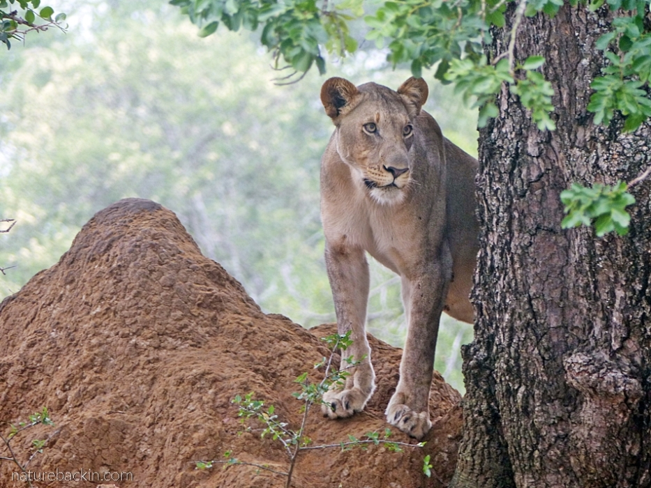 Lioness on an anthill at KuMasinga Hide, Mkuze Game Reserve