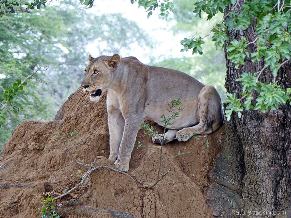 Lioness watching from an anthill at KuMasinga Hide, Mkuze Game Reserve