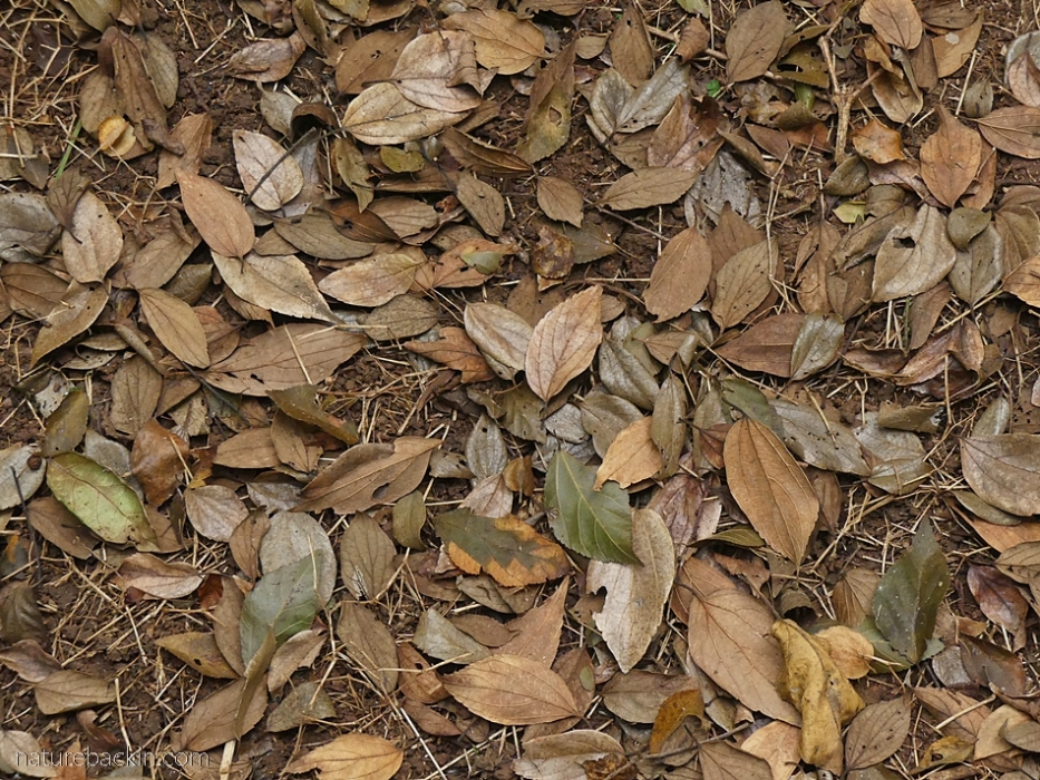 Fallen leaves of the white stinkwood tree (Celtis africana).