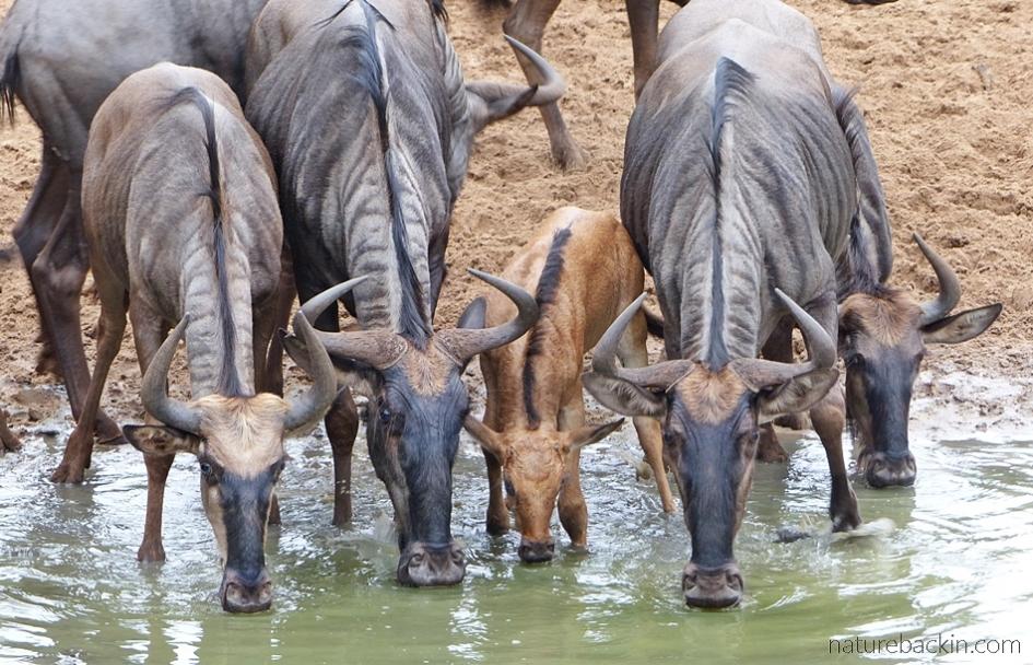 Wildebeest drinking at KuMasinga, Mkhuze Game Reserve, KwaZulu-Natal