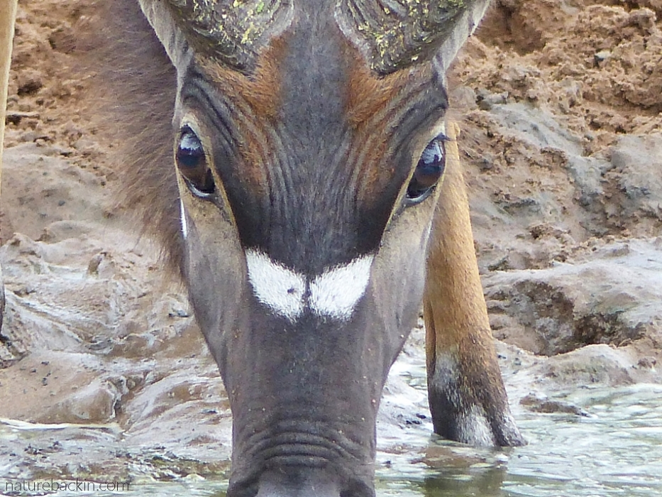 Nyala ram drinking at KuMasinga, Mkhuze Game Reserve