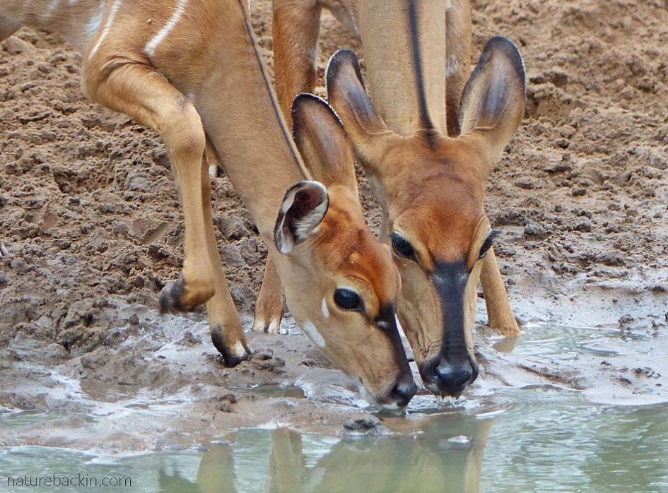 Two nyala drinking at KuMasinga, Mkhuze Game Reserve, South Africa