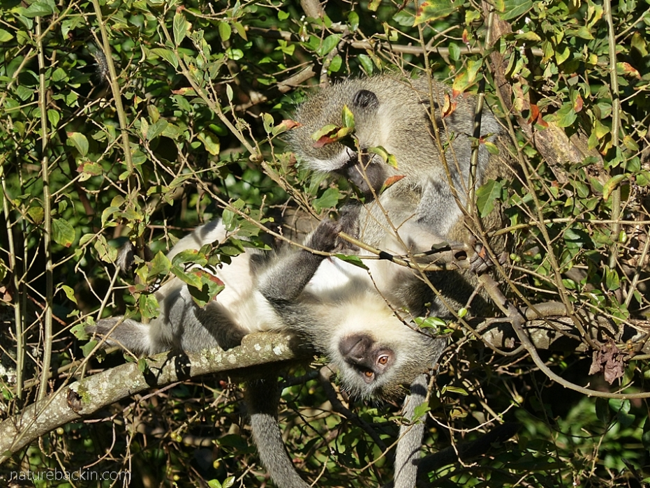 Vervet monkeys grooming in the sunshine, KwaZulu-Natal