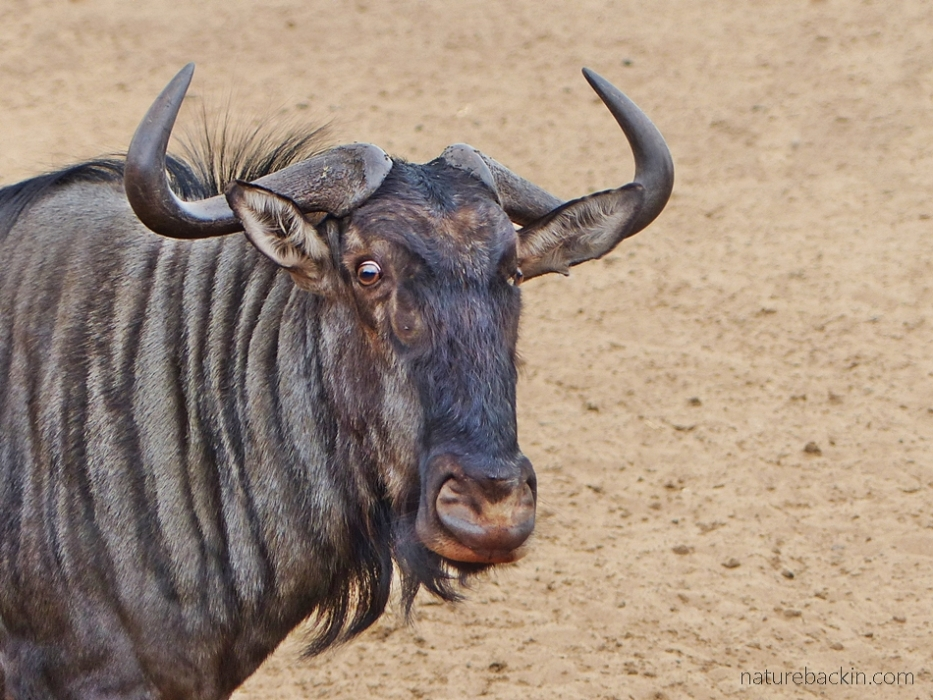 Alert wildebeest at at waterhole at KuMasinga, Mkhuze Game Reserve, South Africa