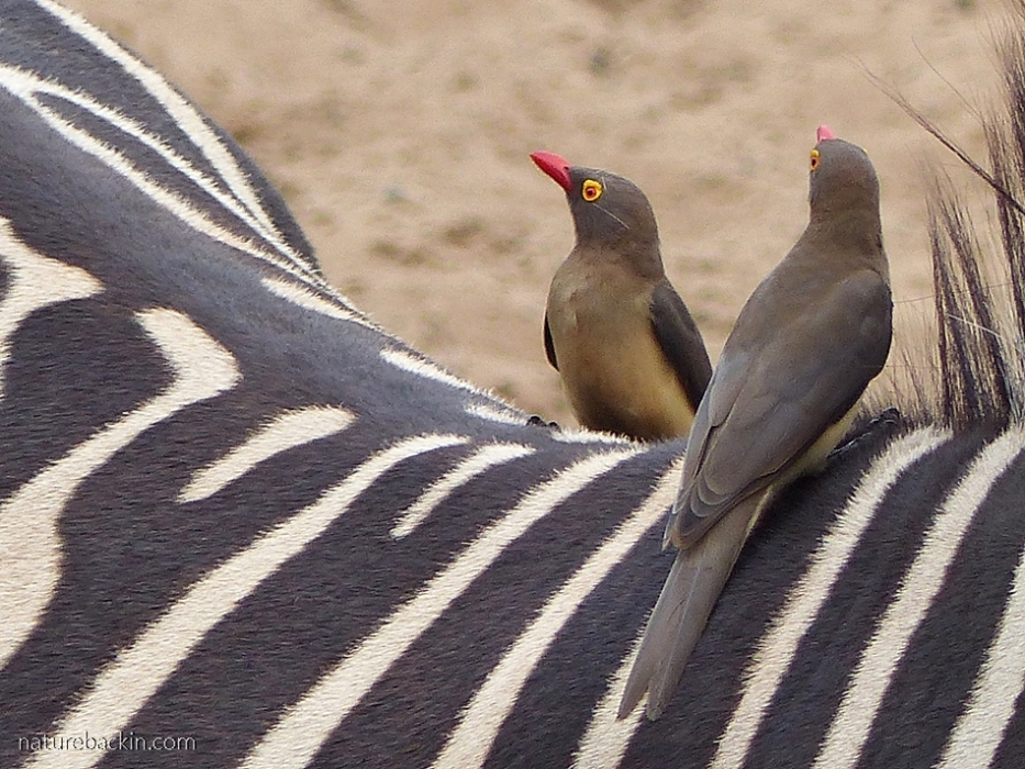 Red-billed oxpeckers on zebra at Mkhuze Game Reserve