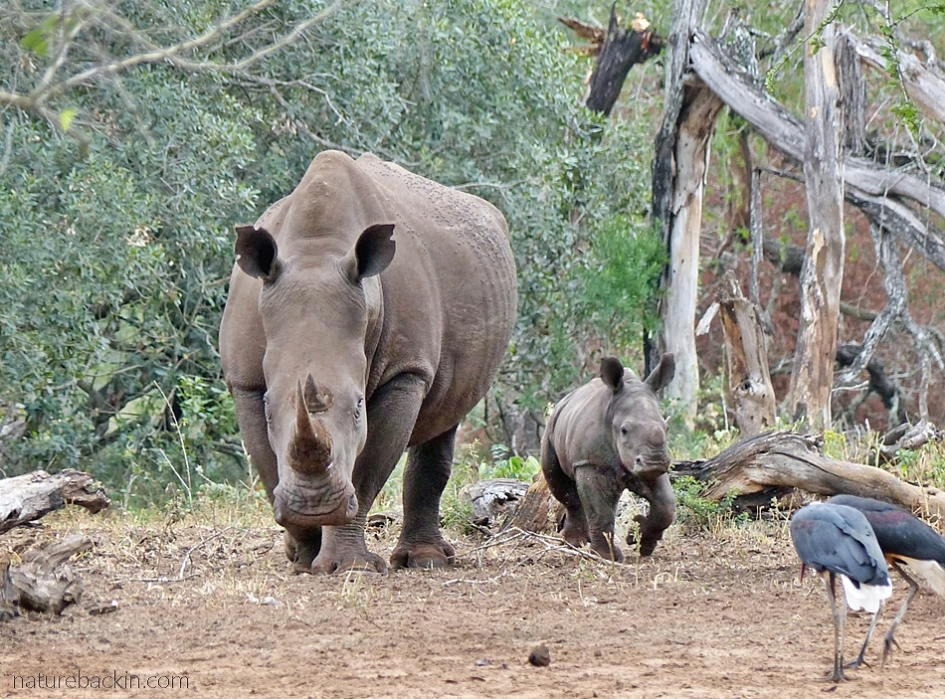 White rhino and young calf at  Mkhuze Game Reserve, South Africa