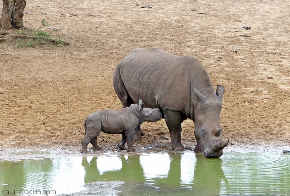 White rhino and calf at the waterhole at KuMasinga,  Mkhuze Game Reserve