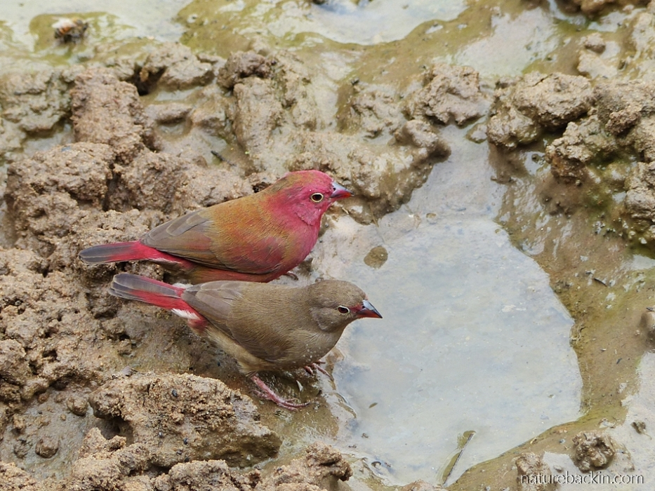 Pair of red-billed firefinches drinking at  Mkhuze Game Reserve