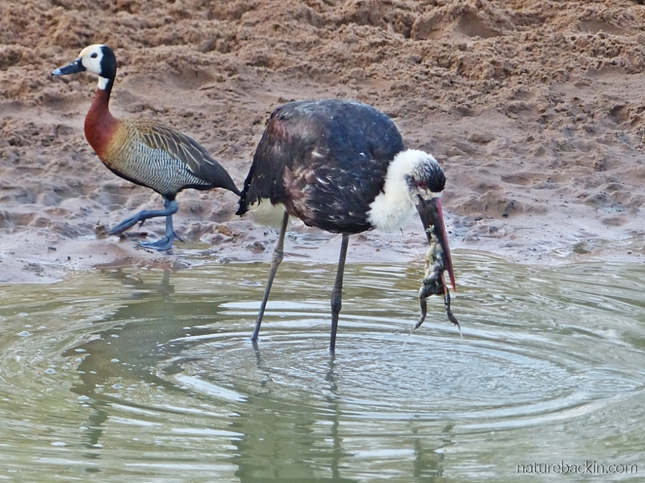 Woolly-necked stork catching frog as white-faced whistling duck walks by, at  Mkhuze Game Reserve