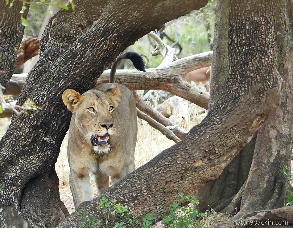 Watchful lion at Mkhuze Game Reserve, South Africa