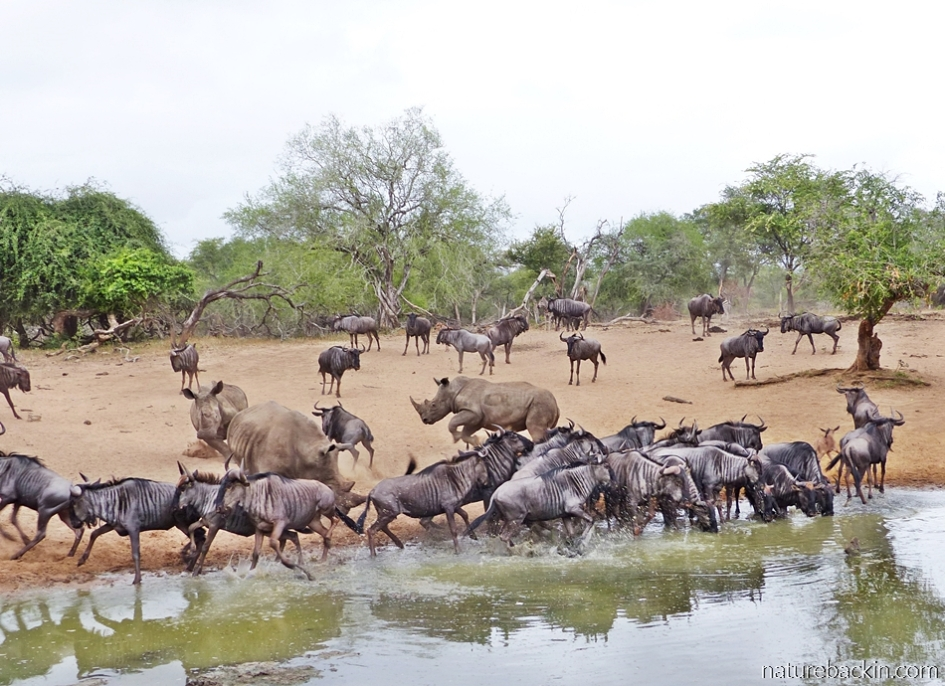 Rhino and wildebeest turning to run away from the waterhole at KuMasinga, Mkhuze Game Reserve