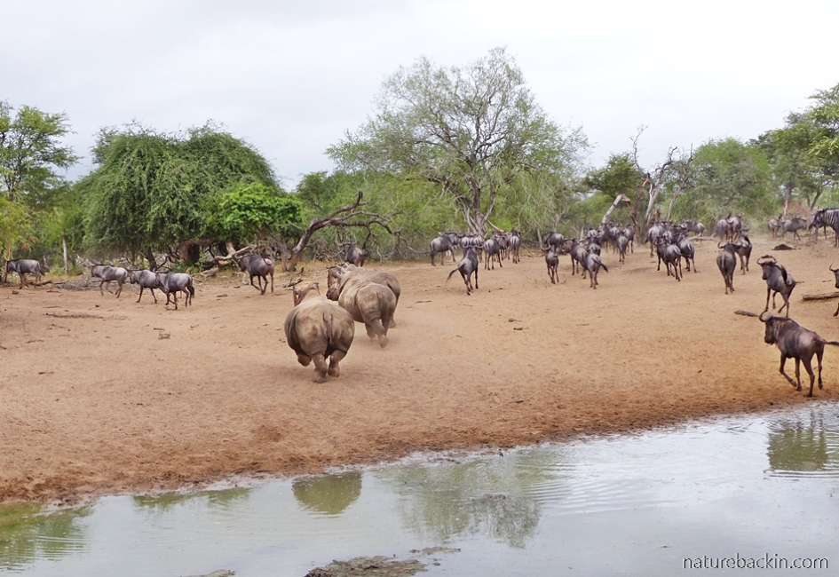 Rhino and wildebeest running away from the waterhole at KuMasinga, Mkhuze Game Reserve