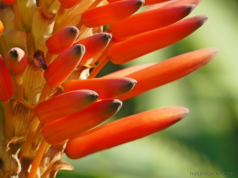 Close-up of the flowers of the krantz aloe