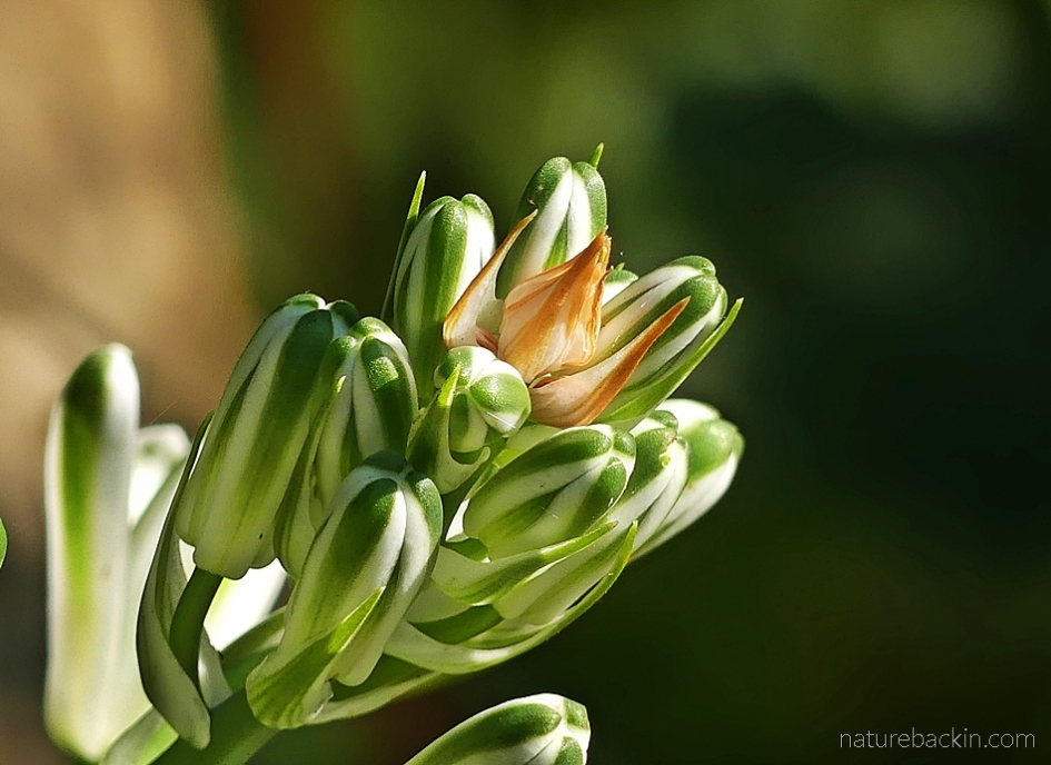 Green and white flower buds of an albuca plant