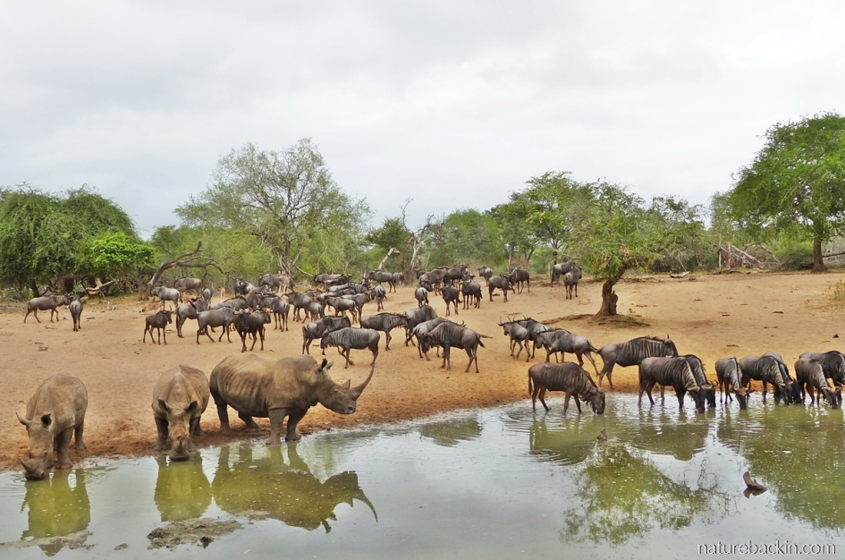 Wildebeest and white rhino at the waterhole at KuMasinga Hide, Mkuze Game Reserve