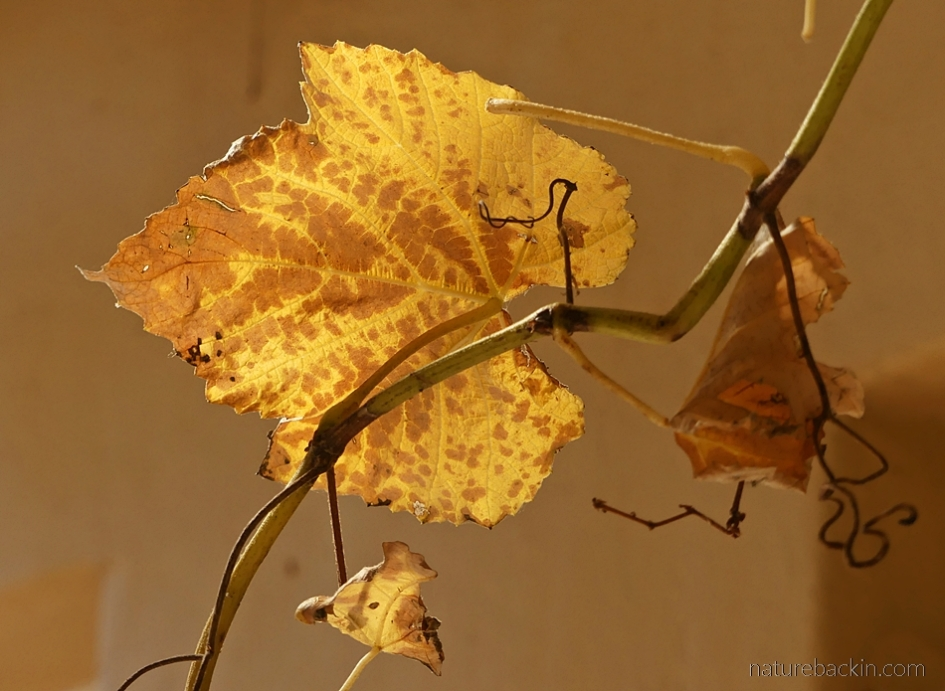 Grapevine leaf autumn colours