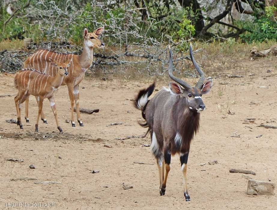 Nyala antelope coming down to drink at the waterhole at KuMasinga Hide, Mkuze Game Reserve