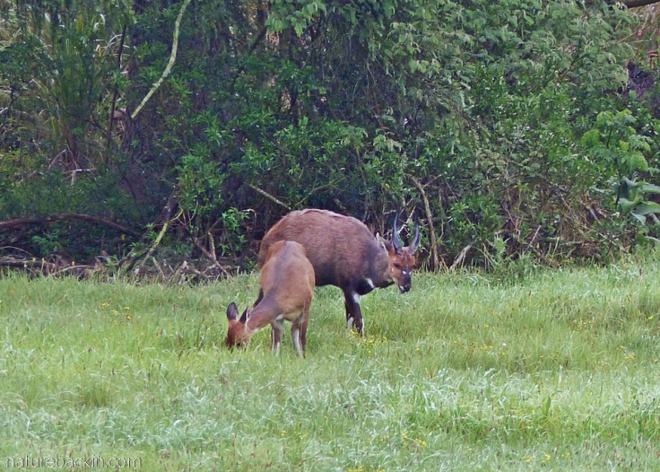 Pair of bushbucks eating grass out in the open, KwaZulu-Natal Midlands