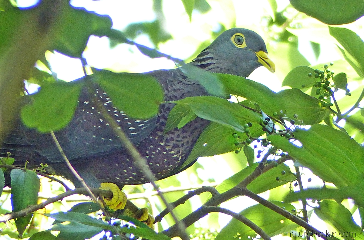 African olive pigeon eating fruit in a pigeonwood tree, South Africa